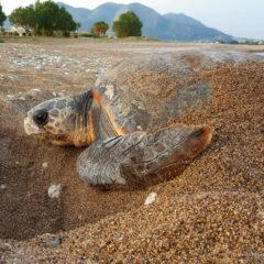 Νεκρή θαλάσσια χελώνα σε παραλία της Καβάλας